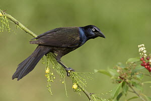 Common Grackle (Quiscalus quiscula), Texas - Alan Murphy/ BIA