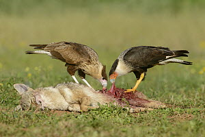 Northern Caracara (Caracara cheriway) and juvenile feeding on Coyote (Canis latrans) carcass, Texas  -  Alan Murphy/ BIA