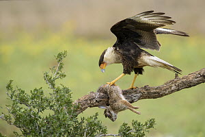 Northern Caracara (Caracara cheriway) with Cottontail Rabbit (Sylvilagus aquaticus) prey, Texas  -  Alan Murphy/ BIA