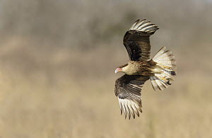 Northern Caracara (Caracara cheriway) flying, Texas  -  Alan Murphy/ BIA