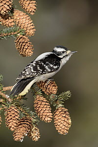 Downy Woodpecker (Picoides pubescens) female, Alaska - Alan Murphy/ BIA