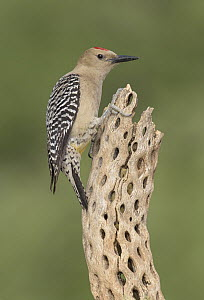 Gila Woodpecker (Melanerpes uropygialis) on old ocotillo cactus, Arizona - Alan Murphy/ BIA