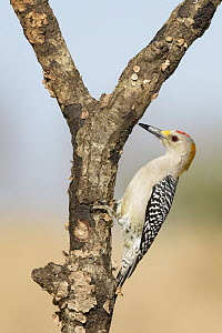 Golden-fronted Woodpecker (Melanerpes aurifrons) male, Texas  -  Alan Murphy/ BIA