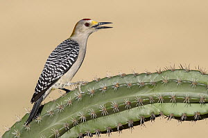 Golden-fronted Woodpecker (Melanerpes aurifrons) male calling, Texas  -  Alan Murphy/ BIA