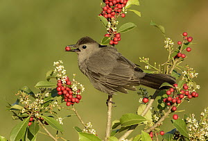 Gray Catbird (Dumetella carolinensis) feeding on red berries, Texas - Alan Murphy/ BIA