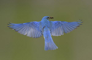 Mountain Bluebird (Sialia currucoides) male flying with insect prey, British Columbia, Canada  -  Alan Murphy/ BIA