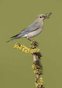 Mountain Bluebird (Sialia currucoides) female with butterfly prey, British Columbia, Canada  -  Alan Murphy/ BIA
