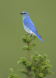 Mountain Bluebird (Sialia currucoides) male with insect prey, British Columbia, Canada  -  Alan Murphy/ BIA