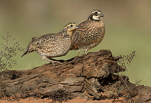 Northern Bobwhite (Colinus virginianus) female and male, Texas - Alan Murphy/ BIA