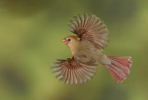 Northern Cardinal (Cardinalis cardinalis) female flying, Texas - Alan Murphy/ BIA