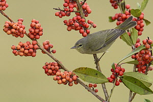 Orange-crowned Warbler (Oreothlypis celata) among red berries, Texas - Alan Murphy/ BIA