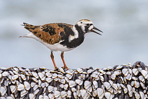 Ruddy Turnstone (Arenaria interpres) feeding on clams, Texas  -  Alan Murphy/ BIA