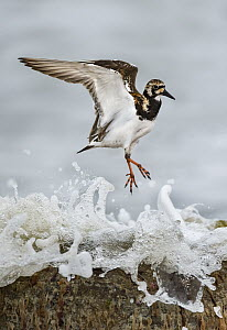 Ruddy Turnstone (Arenaria interpres) hopping, Texas - Alan Murphy/ BIA