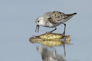 Sanderling (Calidris alba) feeding on crab carcass, Texas - Alan Murphy/ BIA