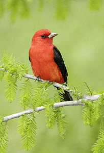 Scarlet Tanager (Piranga olivacea) male, Texas - Alan Murphy/ BIA