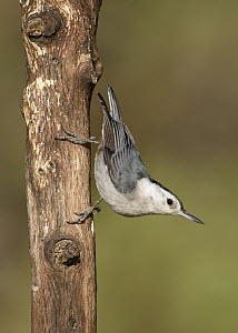 White-breasted Nuthatch (Sitta carolinensis), Arizona - Alan Murphy/ BIA