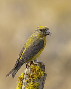 Red Crossbill (Loxia curvirostra) male, Oregon  -  Douglas Herr/ BIA