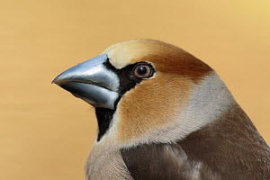 Hawfinch (Coccothraustes coccothraustes) male, Utrecht, Netherlands  -  Walter Soestbergen/ BIA