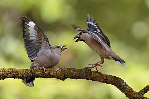 Hawfinch (Coccothraustes coccothraustes) females fighting, Utrecht, Netherlands  -  Walter Soestbergen/ BIA