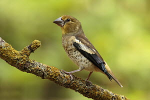 Hawfinch (Coccothraustes coccothraustes) juvenile, Utrecht, Netherlands  -  Walter Soestbergen/ BIA