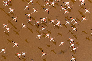 Greater Flamingo (Phoenicopterus ruber) flock flying, Andalusia, Spain  -  Oscar Diez/ BIA
