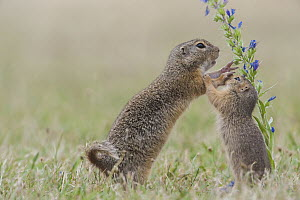 European Ground Squirrel (Spermophilus citellus) mother and young playing, Austria  -  Alfred Trunk/ BIA