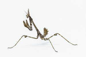 Praying Mantis (Empusa pennata) nymph, Galicia, Spain - Brais Seara Fernandez/ BIA
