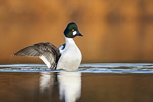 Common Goldeneye (Bucephala clangula) male flapping, Saxony-Anhalt, Germany - Thomas Hinsche/ BIA