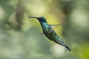 Sparkling Violet-ear (Colibri coruscans) flying, Mindo Cloud Forest, Ecuador - Pete Oxford