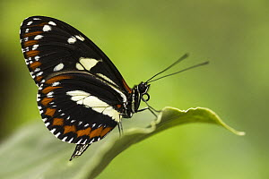 False Zebra Longwing (Heliconius atthis) butterfly, Mindo Cloud Forest, Ecuador  -  Pete Oxford