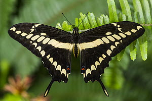 Thoas Swallowtail (Papilio thoas) butterfly, Mindo Cloud Forest, Ecuador - Pete Oxford