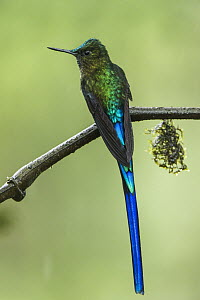 Long-tailed Sylph (Aglaiocercus kingi) male, Mashpi Rainforest Biodiversity Reserve, Pichincha, Ecuador - Pete Oxford