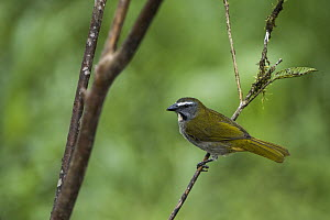 Buff-throated Saltator (Saltator maximus), Mashpi Rainforest Biodiversity Reserve, Pichincha, Ecuador  -  Pete Oxford