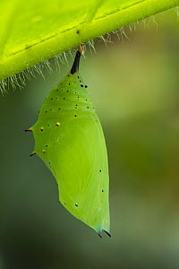 Rusty-tipped Page (Siproeta epaphus) chrysalis, Mashpi Rainforest Biodiversity Reserve, Pichincha, Ecuador, sequence 1 of 3 - Pete Oxford