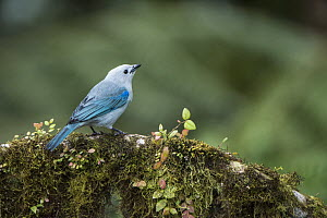 Blue-gray Tanager (Thraupis episcopus), western slope of Andes, Ecuador  -  Pete Oxford