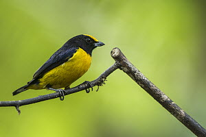 Orange-bellied Euphonia (Euphonia xanthogaster), western slope of Andes, Ecuador  -  Pete Oxford