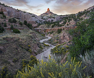 Chamisa (Atriplex canescens) flowering in canyon, Church Rock, Red Rock State Park, New Mexico  -  Tim Fitzharris