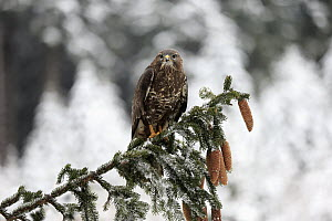 Common Buzzard (Buteo buteo) in winter, Zdarske Vrchy, Bohemian-Moravian Highlands, Czech Republic  -  Juergen & Christine Sohns