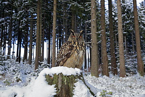 Eurasian Eagle-Owl (Bubo bubo) in forest in winter, Zdarske Vrchy, Bohemian-Moravian Highlands, Czech Republic  -  Juergen & Christine Sohns