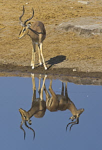 Impala (Aepyceros melampus) male at waterhole, with reflection of another male creating an optical illusion, Etosha National Park, Namibia  -  Yva Momatiuk & John Eastcott