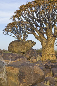 Rock Hyrax (Procavia capensis) and Quiver Trees (Aloe dichotoma), Quiver Tree Forest, Namibia - Yva Momatiuk & John Eastcott
