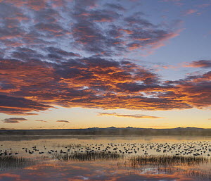 Snow Goose (Chen caerulescens) flock in pond at sunrise, Bosque del Apache National Wildlife Refuge, New Mexico  -  Tim Fitzharris