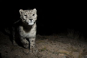 Snow Leopard (Panthera uncia), wild male at night, Sarychat-Ertash Strict Nature Reserve, Tien Shan Mountains, eastern Kyrgyzstan - Sebastian Kennerknecht