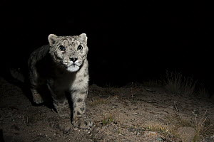 Snow Leopard (Panthera uncia) wild male at night, Sarychat-Ertash Strict Nature Reserve, Tien Shan Mountains, eastern Kyrgyzstan - Sebastian Kennerknecht