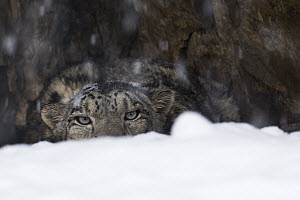 Snow Leopard (Panthera uncia) wild male peering over snow during snowfall before collaring, Sarychat-Ertash Strict Nature Reserve, Tien Shan Mountains, eastern Kyrgyzstan  -  Sebastian Kennerknecht