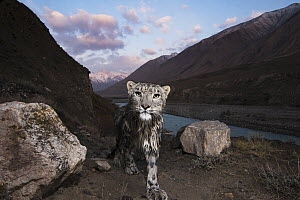 Snow Leopard (Panthera uncia) wild female, wet after having crossed river, in mountain valley, Uchkul River, Sarychat-Ertash Strict Nature Reserve, Tien Shan Mountains, eastern Kyrgyzstan  -  Sebastian Kennerknecht