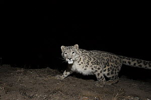 Snow Leopard (Panthera uncia) at night, Sarychat-Ertash Strict Nature Reserve, Tien Shan Mountains, eastern Kyrgyzstan - Sebastian Kennerknecht