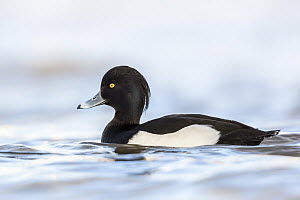 Tufted Duck (Aythya fuligula) male, Baden-Wurttemberg, Germany  -  Oliver Geiseler/ BIA