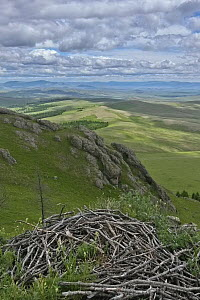 Eurasian Black Vulture (Aegypius monachus) nest on mountain slope, Mongolia  -  Martin Grimm/ BIA