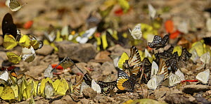 Leopard Lacewing (Cethosia cyane) and Common Grass Yellow (Eurema hecabe) butterflies feeding at mineral lick, Kaeng Krachan National Park, Thailand - Martin Grimm/ BIA